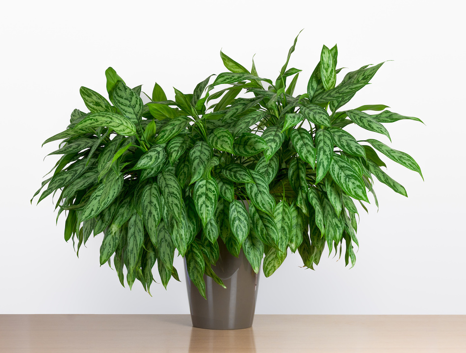 Potted Chinese Evergreen Plant