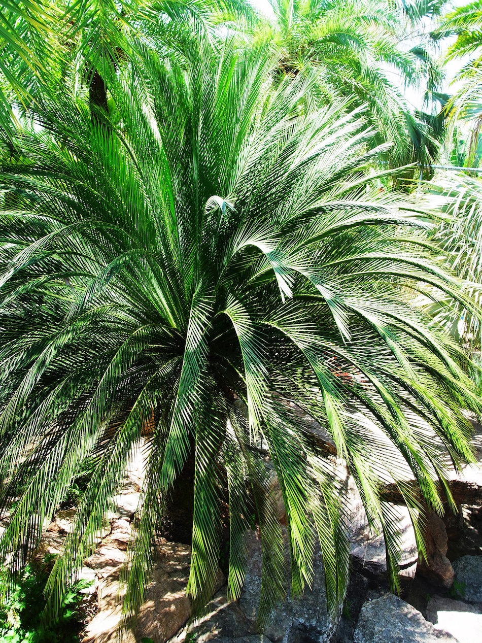 Dwarf Date Palm for Indoor Air Quality