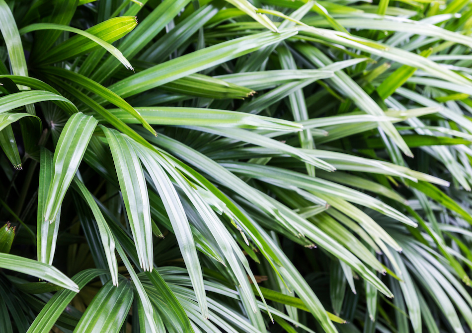 Indoor Lady Palm