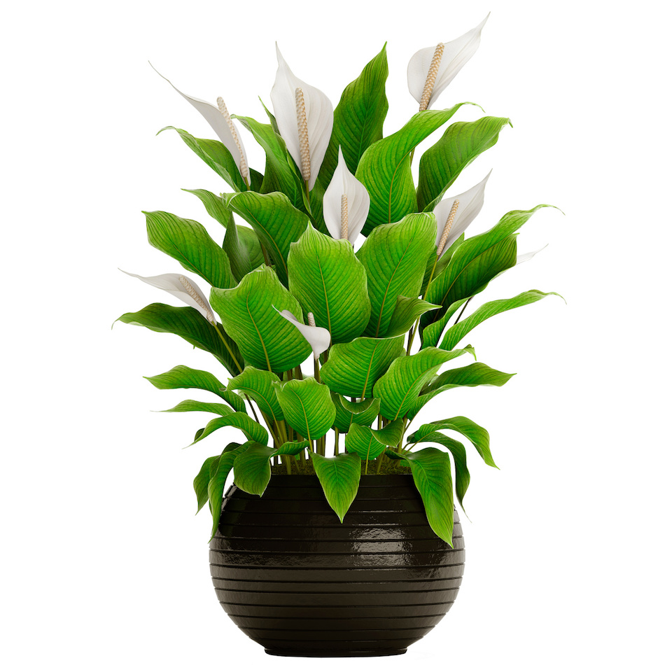 Peace Lily for Air Purification