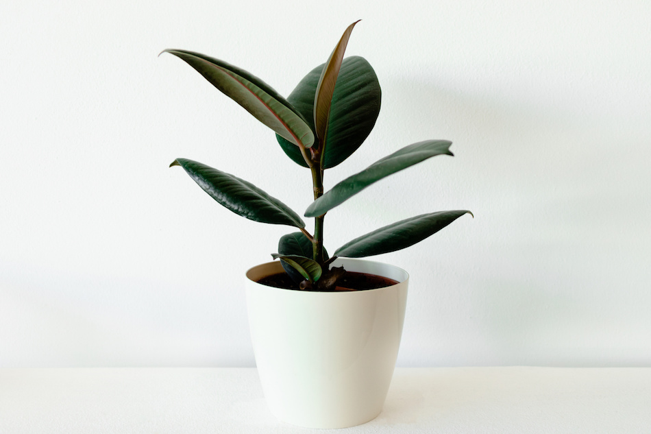 Rubber Tree Plant Indoors